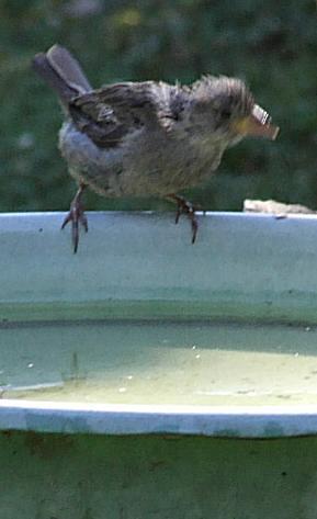 G vrabec