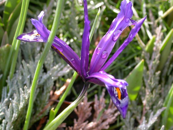 iris ze zahrady