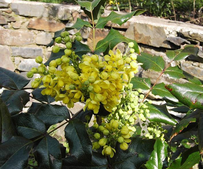 mahonie zlute kvetouci
