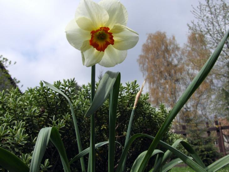 narciska u mne na zahrade