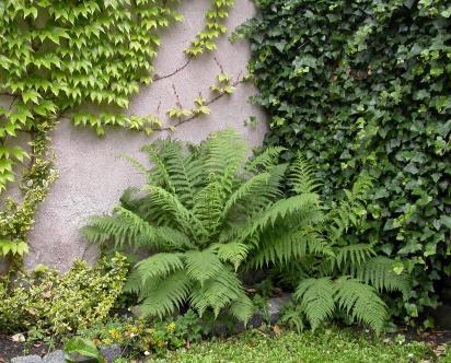 papradka samici u zuzi na zahrade