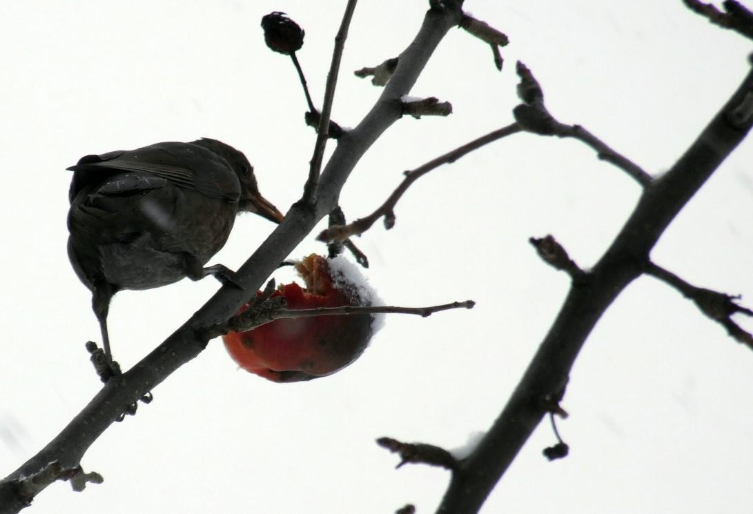 prvni snih 22-11-08 ptak jablko c