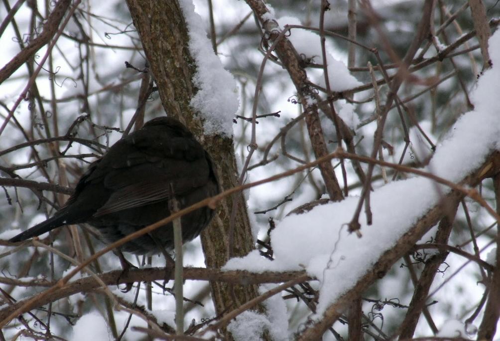 prvni snih 22-11-08 ptaci v krovi