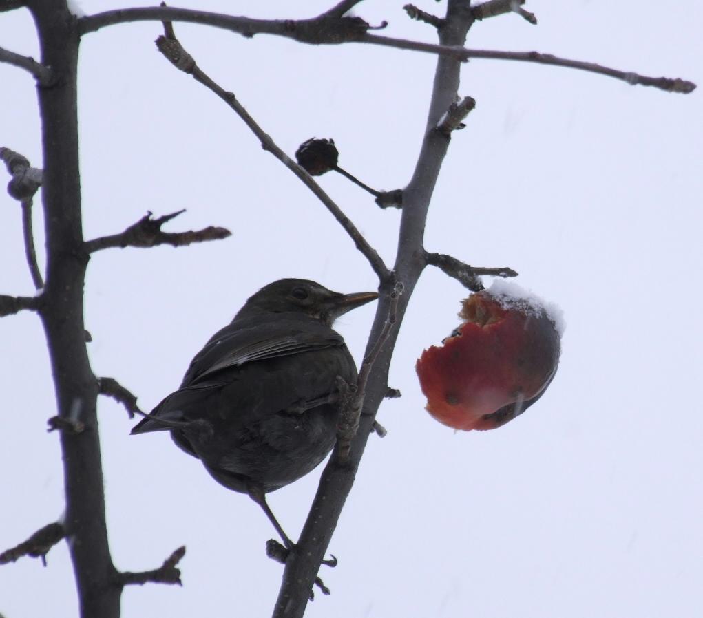 prvni snih 22-11-08 ptak jablko a