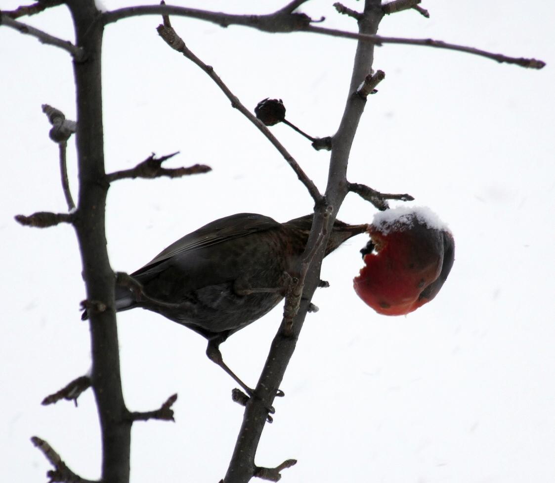 prvni snih 22-11-08 ptak jablko b
